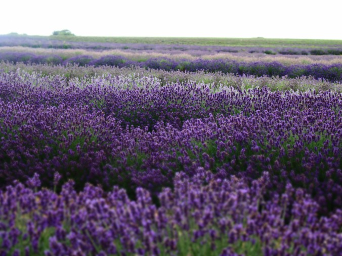 A lavender field somewhere in the Cotswold