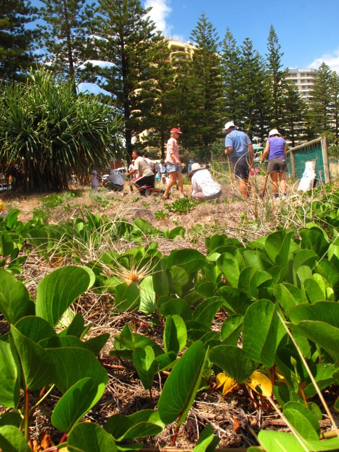 BeachCare volunteers caring for the dunes at Rainbow Bay, Gold Coast.