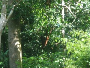 Proof. I saw an Orangutan.